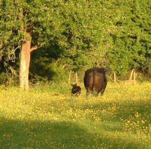 Cows & Buttercups