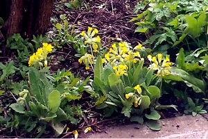 Cowslips 0