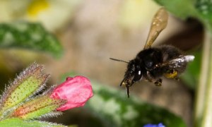 Bee solitary-hairy-footed-007