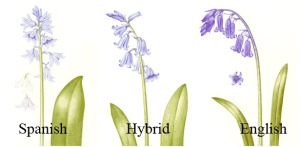 bluebells - differences