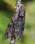 convolvulus-hawk-moth