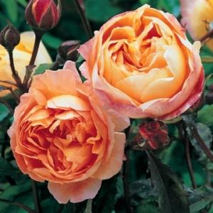 david-austin-roses
