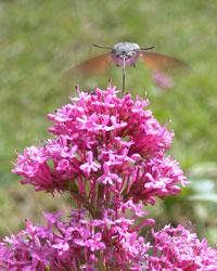 hummingbird hawkmoth on-red-valerian
