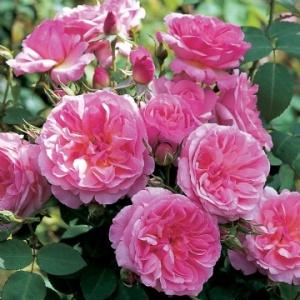 Hyde Hall rose