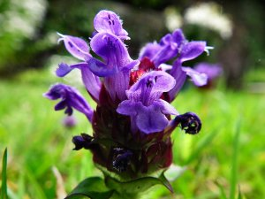 Self-heal - Prunella vulgari