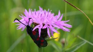 burnet moth on flower