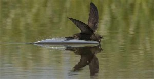 swift on water
