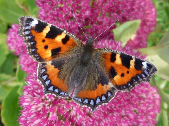 small_tortoiseshell_on_sedum_martin_warren_002.jpg